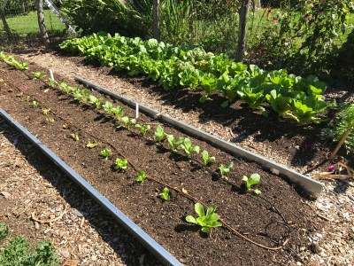 Chinese cabbage transplants