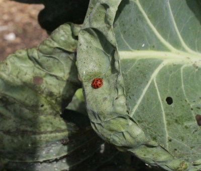 Ladybug on cabbage leaf