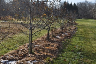 Mulched apple trees