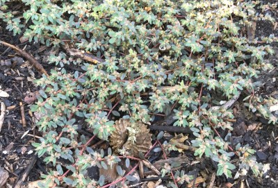 Euphorbia maculate, spotted spurge2