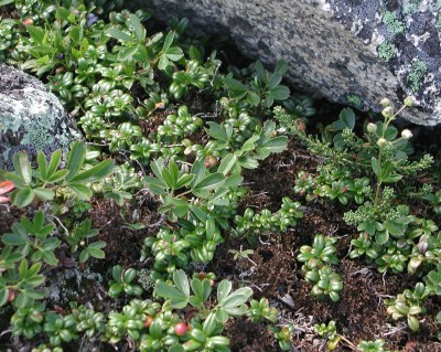 Lingonberry in White Mountains