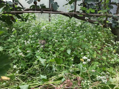 Buckwheat growing in greenhouse