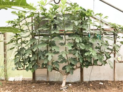 Fig espalier