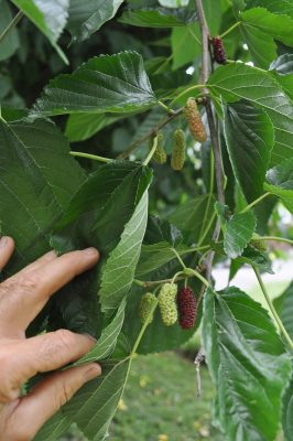 Illinois Everbearing mulberry fruit