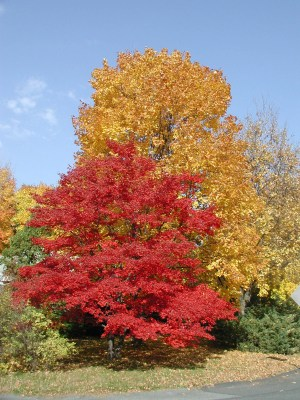 OLYMPUJapanese and sugar maples