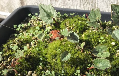 Cyclamen herodifolium, small tuber
