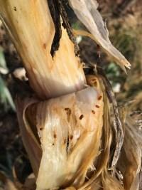 Allium leafminer