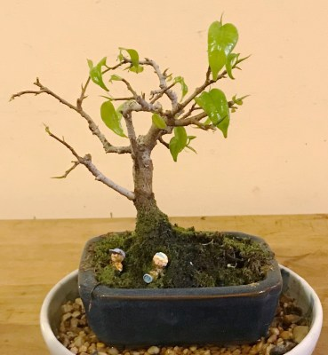 Bonsai, fig, '18, new leaves