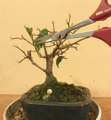 Bonsai, fig, clipping leaves, '18