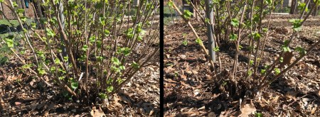 Blackcurrant, before & after pruning