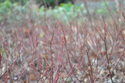 Lowbush blueberries, flower buds