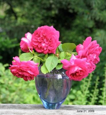 Dark Lady rose