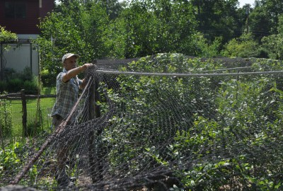 Netting blueberries