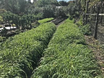 Oat cover crop