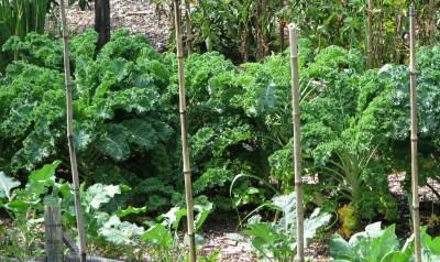 Kale plants