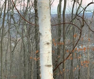 Paperbark birch bark