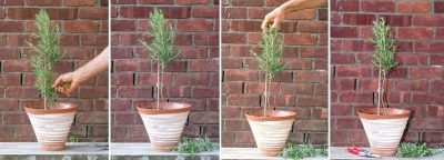 Second four steps in training rosemary tree