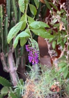 Butterfly bush flowe