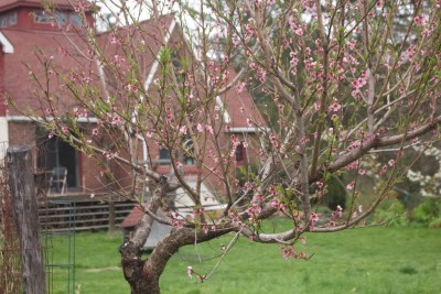 Peach tree, before pruning