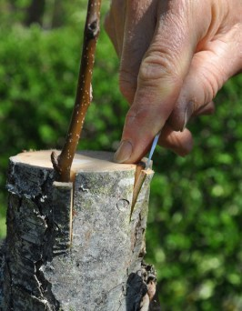 Bark graft rootstock prep