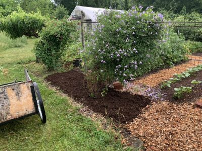 Asparagus bed with compost