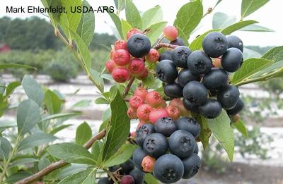 Nocturne blueberry