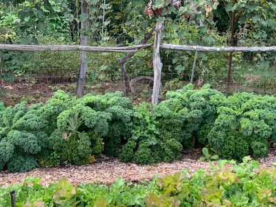 Row of kale