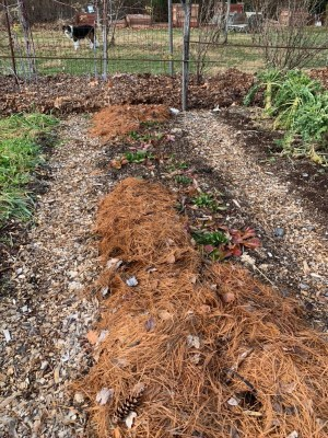 Strawberry bed mulched with pine needles