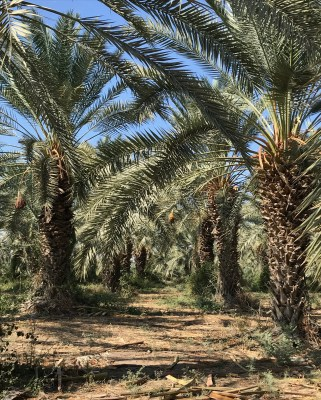 Date palm orchard