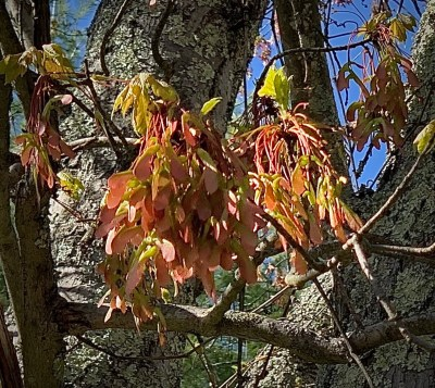 Acer, red maple seeds