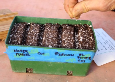 Sowing lettuce seeds in flats