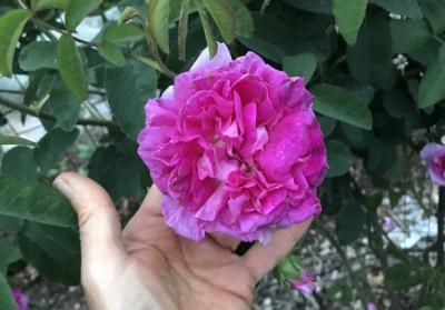 Rose d'Ipsahan blossom