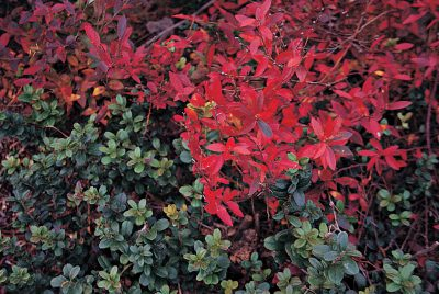 Lingonberry and lowbush blueberry in fall