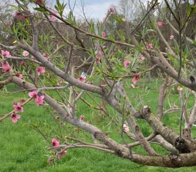 Peach, hedged, flowering