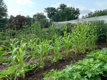 Stunted corn