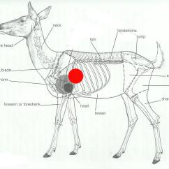 Whitetail Deer Vital Area Diagram Thermo King Tripac Wiring The Gallery For Gt Vitals