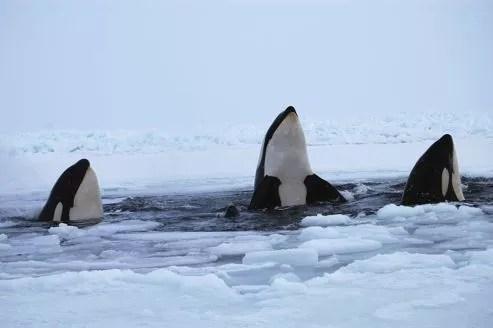 Les orques émergaient à tour de rôle pour respirer.