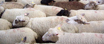 Sheep queue