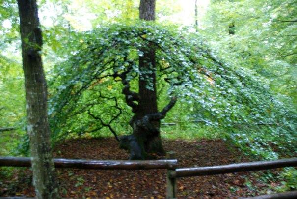 twisted beech tree - Faux de Verzy