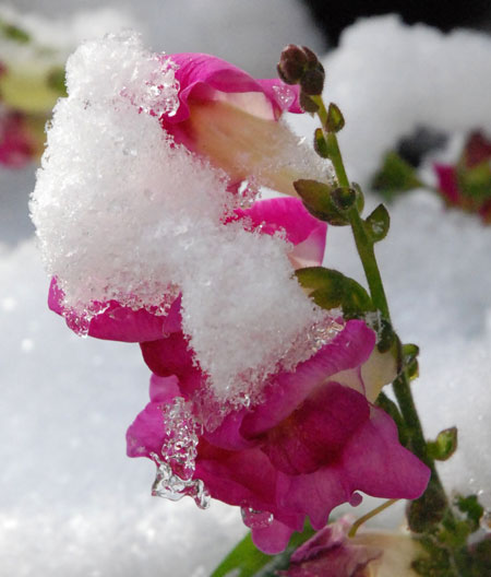 Pink flower covered in snow