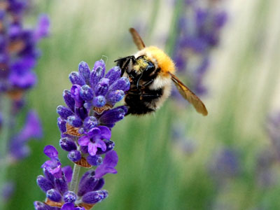 <Photo of a bumblebee on lavendar in St Jean de Sixt, France>