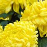 French chrysanthemums and death in France