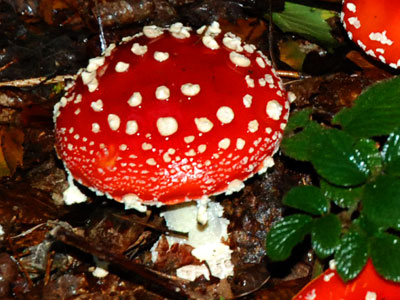 <Photo of an Amanita muscaria mushroom in France>