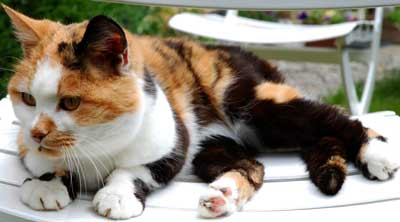 Photo of Pantoufle the French deaf cat. Copyright Le Francophoney.