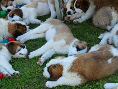 St Bernard certified puppies!