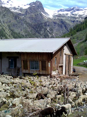 Photo of sheep in Prapic