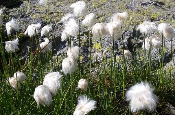 Emosson wild flowers