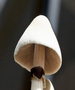 Albino-shrooms-A+
