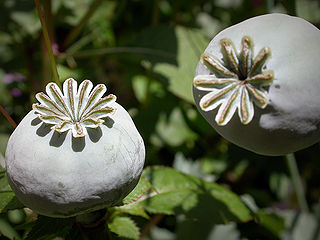 320px-Opium_poppy