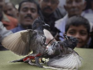 Gauhati HC bans bulbul bird fight in Assam's ancient temple